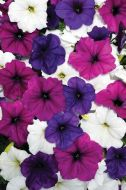 Easy Wave® Great Lakes Mix (Petunia/multiflora/pelleted)