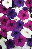 Easy Wave® Great Lakes Mix (Petunia/multiflora/pelleted)