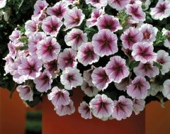 Opera Supreme Raspberry Ice (Petunia/multiflora/pelleted)