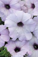 Easy Wave Silver (Petunia/multiflora/pelleted)