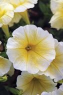 Easy Wave Yellow (Petunia/multiflora/pelleted)