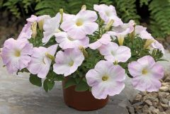 Ramblin'™ Lilac Glo (Petunia/multiflora/pelleted)