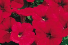 Ramblin'™ Red (Petunia/multiflora/pelleted)