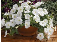 Ramblin'™ White (Petunia/multiflora/pelleted)