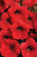 Shock Wave™ Red (Petunia/milliflora/pelleted)