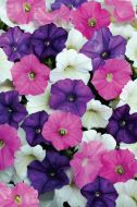 Shock Wave™ Spark Mix (Petunia/milliflora/pelleted)