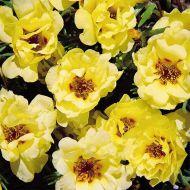 Sundial Yellow (Portulaca/multi-pellet)