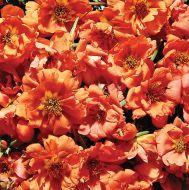 Sundial Orange (Portulaca/multi-pellet)