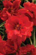 Happy Hour™ Deep Red (Portulaca/multi-pellet)