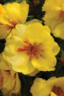 Happy Hour Lemon (Portulaca/multi-pellet)
