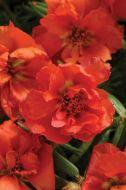 Happy Hour Orange (Portulaca/multi-pellet)