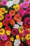 Happy Hour Mix (Portulaca/multi-pellet)