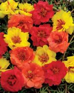 Happy Hour Tropical Mix (Portulaca/multi-pellet)