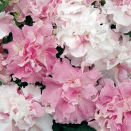 Double Cascade Orchid Mist (Petunia/double/pelleted)