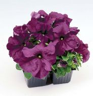 Limbo GP Deep Purple (Petunia/grandiflora/pelleted)