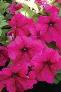 Limbo GP Burgundy (Hybrid Petunia Pellets)