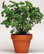 Simply Herbs™ Curled Parsley (Parsley/curled leaf)