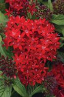 Lucky Star™ Dark Red (Pentas/Pelleted)