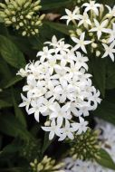 Lucky Star™ White (Pentas/Pelleted)