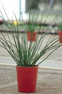 Javelin (Juncus/pelleted)