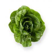 Salvius M.I. (Lettuce/pelleted)
