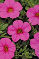 Kabloom Deep Pink (Calibrachoa Pellets)