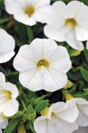 Kabloom White (Calibrachoa Pellets)