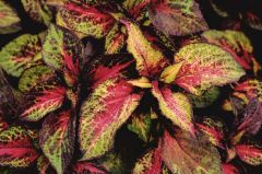 Premium Sun Rose Lime Magic (Coleus)