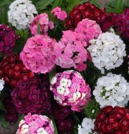Dash Mix (Dianthus Pellets)