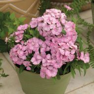 Diabunda Pink Pearl (Sweet William)