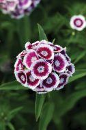 Sweet Purple/White Bicolor (Sweet William/hybrid)