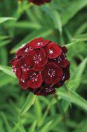 Sweet Black Cherry (Sweet William/hybrid)