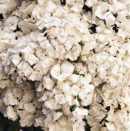 Sweet White (Sweet William/hybrid)