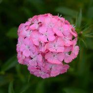 Sweet Deep Pink (Sweet William/hybrid)