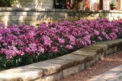 Jolt Pink Magic (Dianthus Pellets)