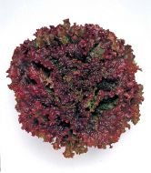 New Red Fire M.I. (Lettuce/looseleaf/pelleted)