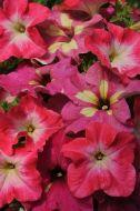 Fuseables® Lime Coral (Petunia/multi-pellet)