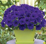 Trilogy™ Blue (Petunia/multiflora/pelleted)