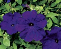 Hurrah™ Blue (Petunia/multiflora/pelleted)