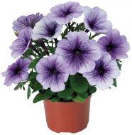 Hurrah™ Blue Veined (Petunia/multiflora/pelleted)