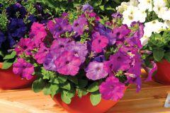 Hurrah™ Lavender Tie Dye (Petunia/multiflora/pelleted)