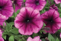 Hurrah™ Plum (Petunia/multiflora/pelleted)