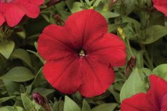 Hurrah™ Red (Petunia/multiflora/pelleted)