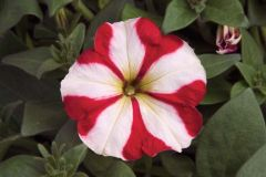 Hurrah™ Red Star (Petunia/multiflora/pelleted)
