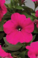 Hurrah™ Rose ((Petunia/multiflora/pelleted)