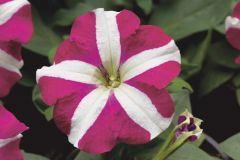 Hurrah™ Rose Star (Petunia/multiflora/pelleted)