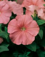 Hurrah™ Salmon (Petunia/multiflora/pelleted)