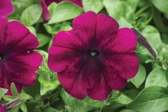 Hurrah™ Velvet (Petunia/multiflora/pelleted)