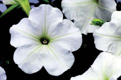 Hurrah™ White (Petunia/multiflora/pelleted)