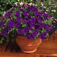 Picobella™ Blue (Petunia/pelleted/milliflora)